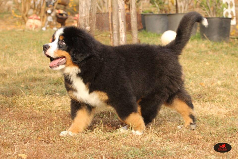 高端大气上档次 完美的伯恩山幼犬 可遇不可求3