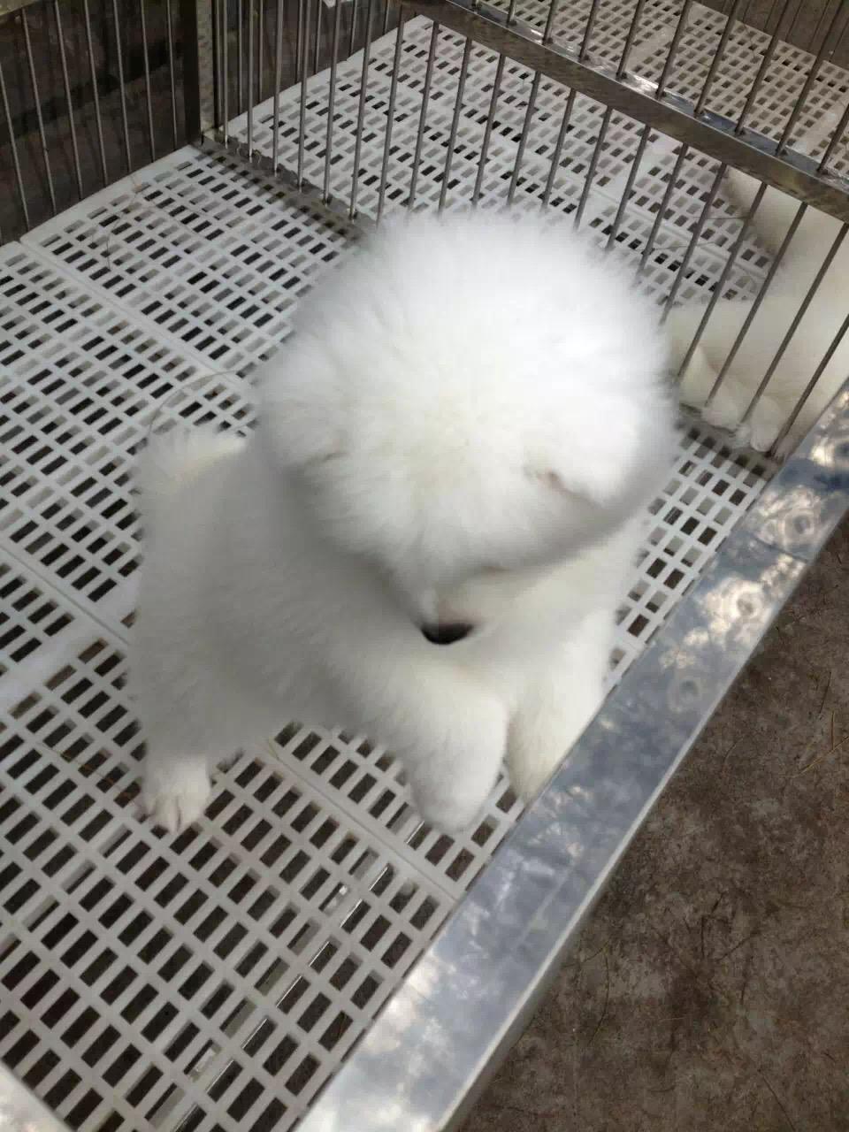 撩妹神犬萨摩幼犬 萌化少女心品相好 还等什么 ~4
