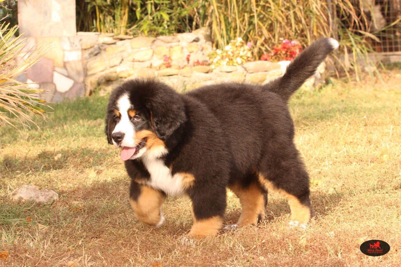 高端大气上档次 完美的伯恩山幼犬 可遇不可求4