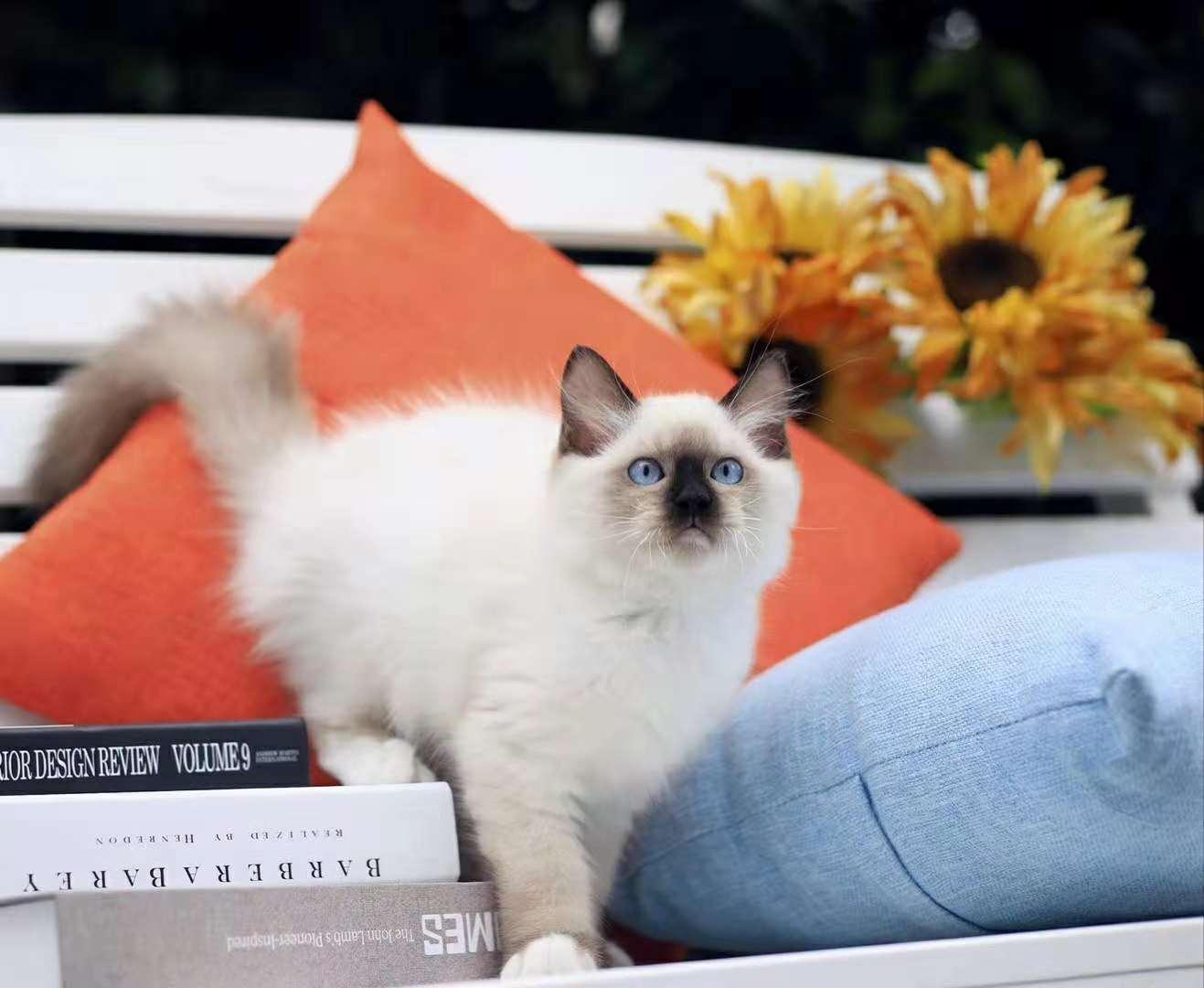 罗猫短毛猫机智灵活,对主人忠心的纯种挖煤猫