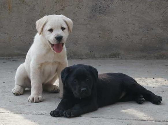 云南楚雄拉布拉多多少钱能买到好的狗场拉布拉多纯种健康便宜
