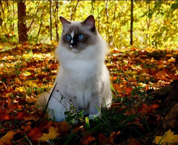 北京暹罗猫多少钱 北京暹罗猫怎么卖 北京暹罗猫价格
