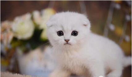 北京折耳猫怎么卖 北京哪有卖折耳猫的 北京折耳猫价格
