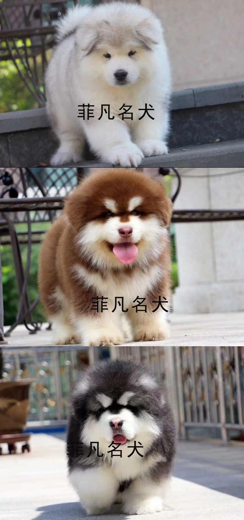 熊版大骨量阿拉斯加幼犬 包健康纯种 健康质保可送货6