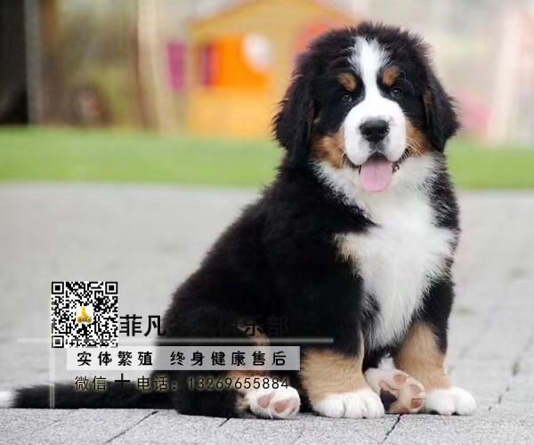 专业繁殖伯恩山犬 可来基地挑选 签协议保健康 全国发货