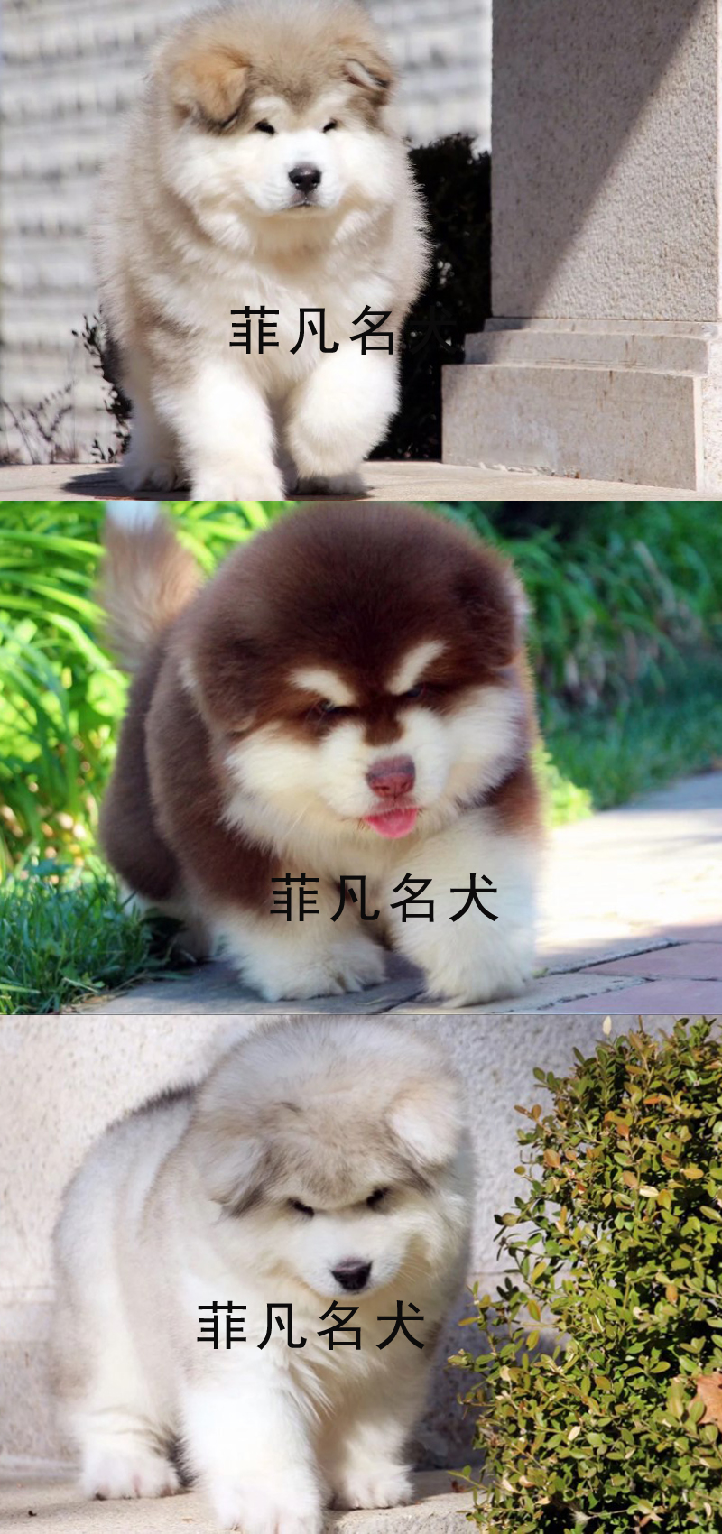 熊版大骨量阿拉斯加幼犬 包健康纯种 健康质保可送货7