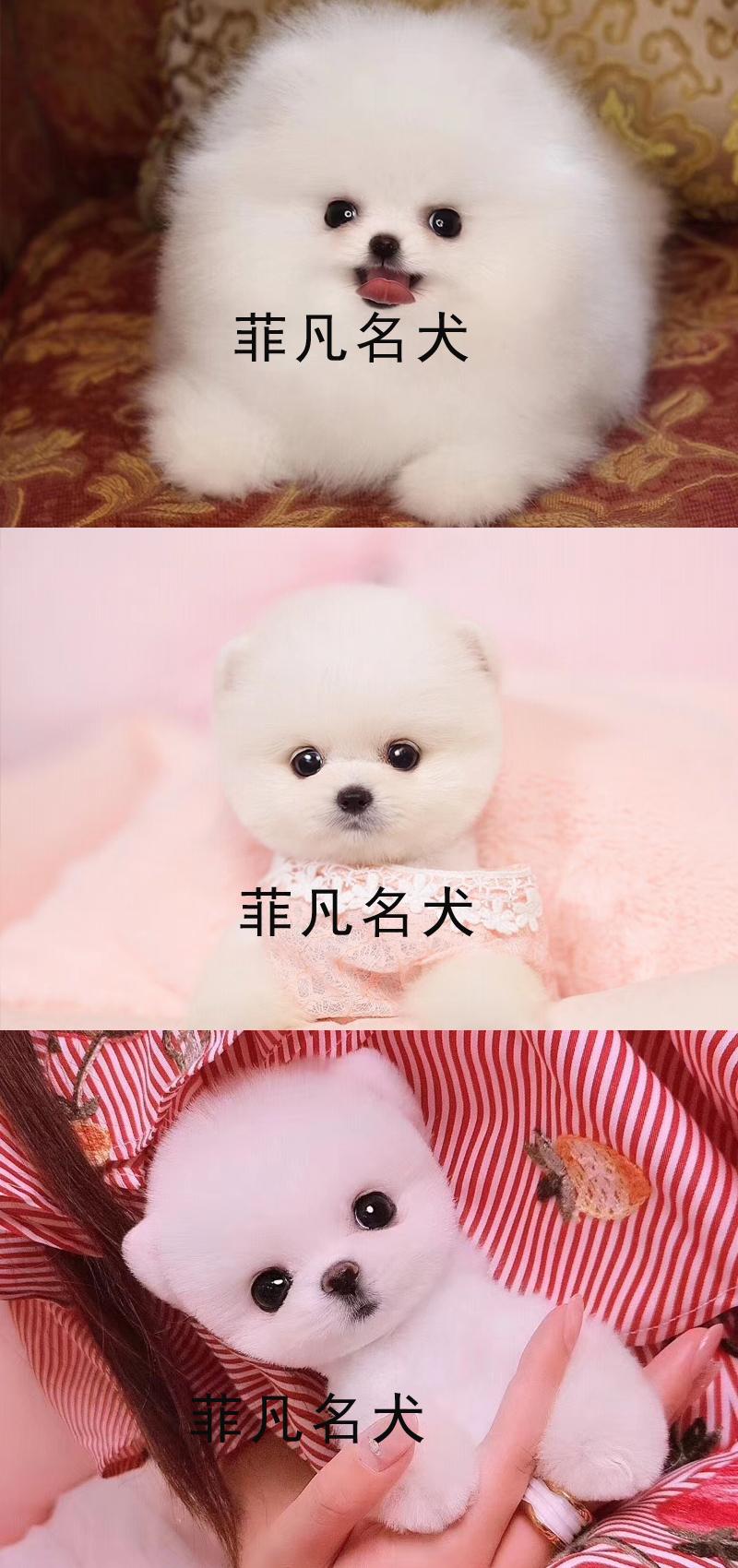 韩系白博美幼犬活体纯种宠物狗狗北京出售茶杯8