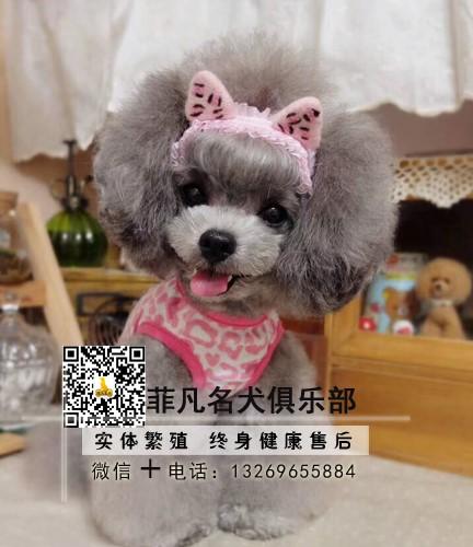 CKU犬舍出售纯种泰迪熊犬 专业繁育 品质保证