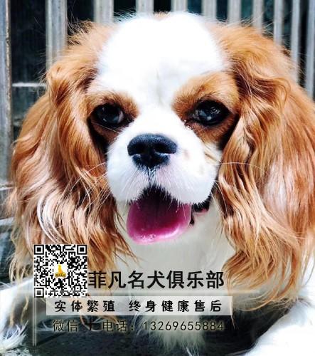 查理王幼犬英国皇室贵族犬 性格温柔甜美 同城可送货