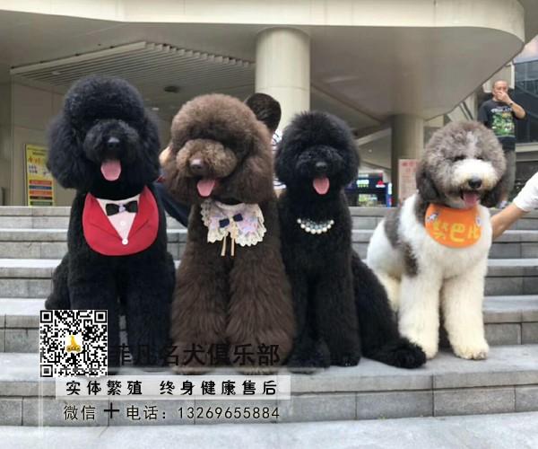 高端纯种赛级巨型贵宾犬巨贵幼 全国可发货北京可送货