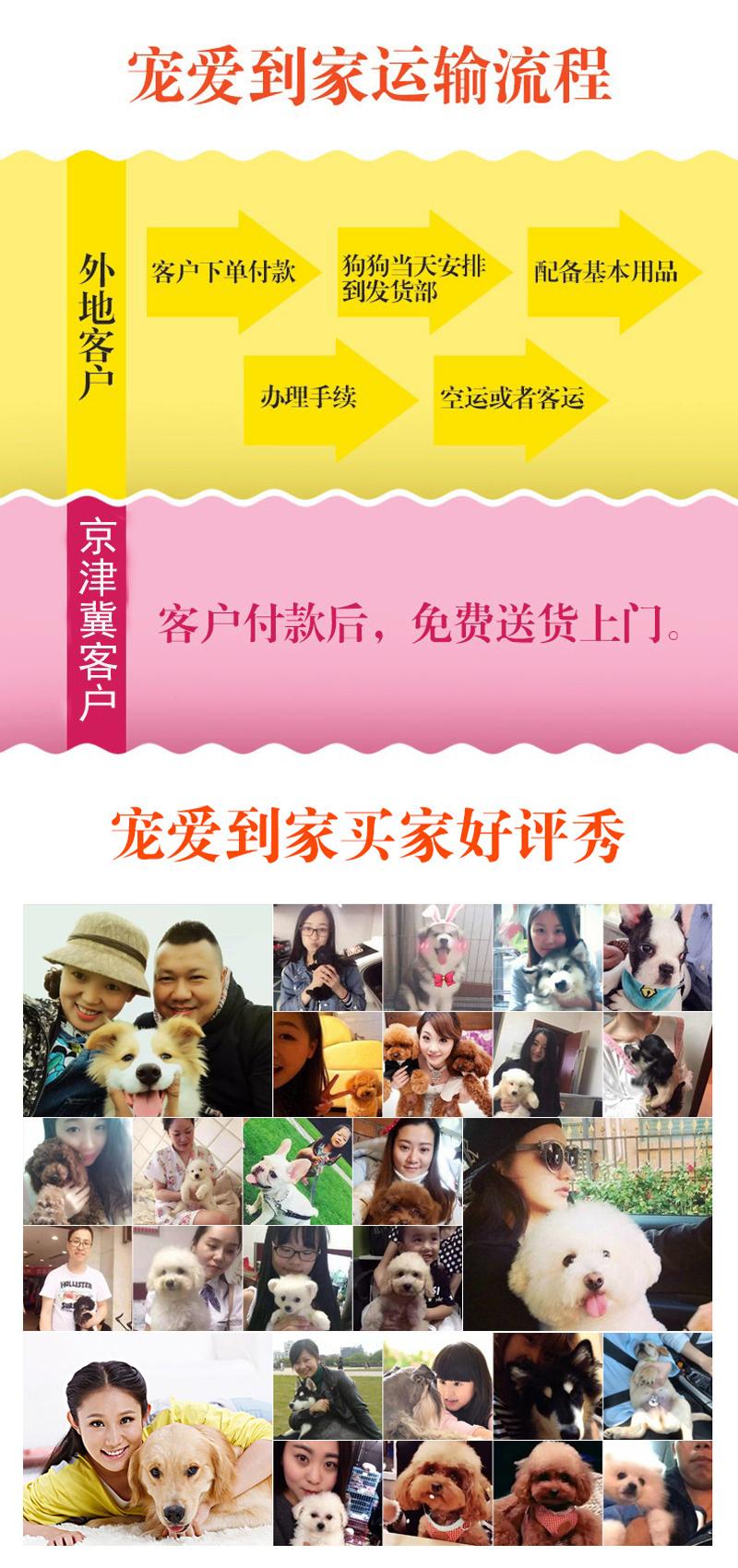 韩系白博美幼犬活体纯种宠物狗狗北京出售茶杯13