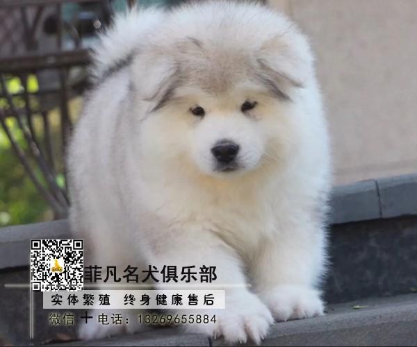熊版大骨量阿拉斯加幼犬 包健康纯种 健康质保可送货4