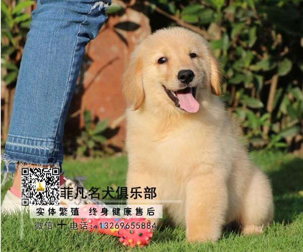 出售大头金毛犬~协议质保健康纯种~疫苗齐全送货上门