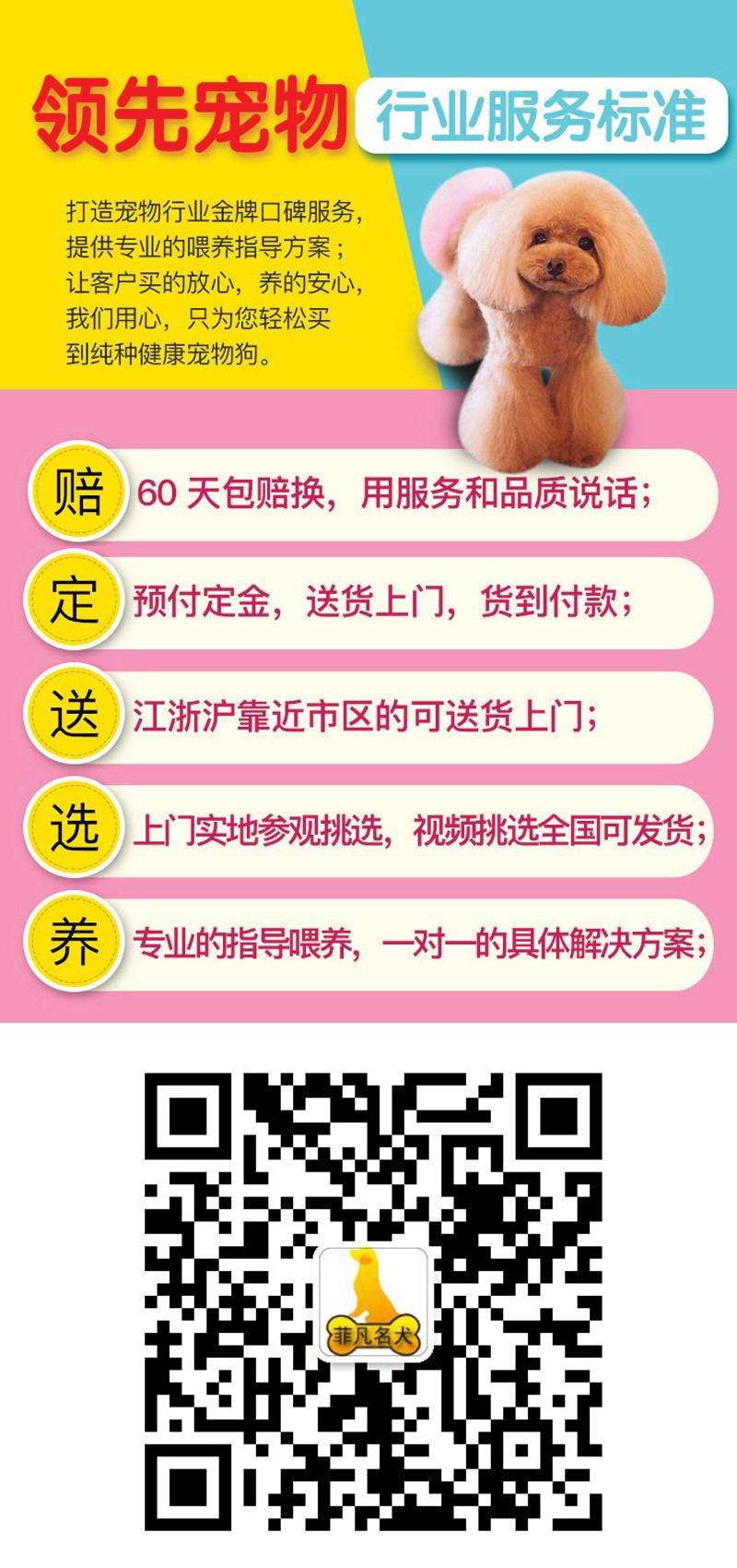 韩系白博美幼犬活体纯种宠物狗狗北京出售茶杯12