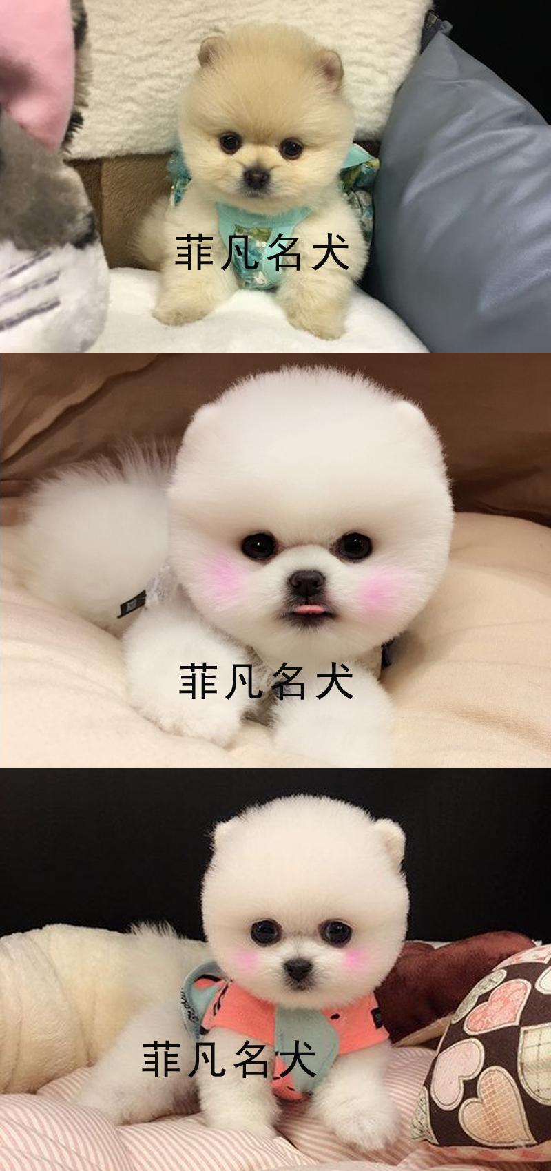 韩系白博美幼犬活体纯种宠物狗狗北京出售茶杯6