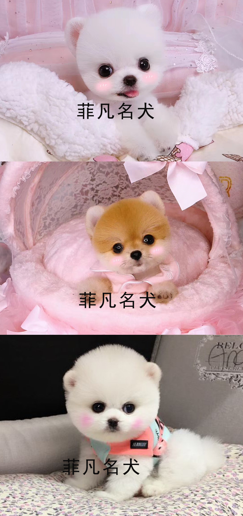 韩系白博美幼犬活体纯种宠物狗狗北京出售茶杯7