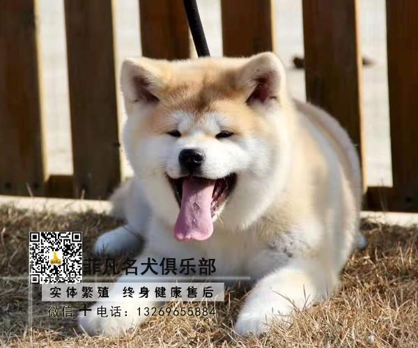 日系秋田犬幼犬、国外引进种犬、终身质保/100%纯种健康