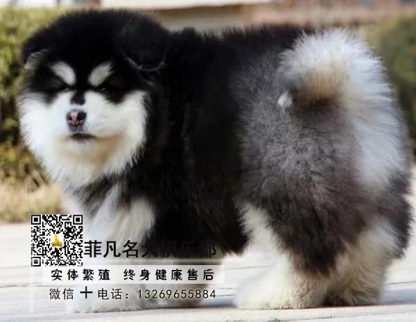 熊版大骨量阿拉斯加幼犬 包健康纯种 健康质保可送货2