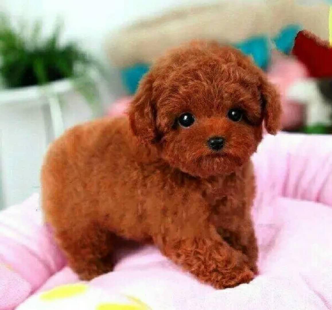 长期出售精品贵宾犬幼犬 800一只 支持全国送货上门