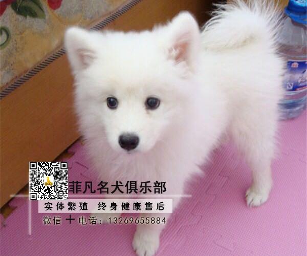 北京犬舍直销银狐幼犬一多窝可选一签协议一可发货1