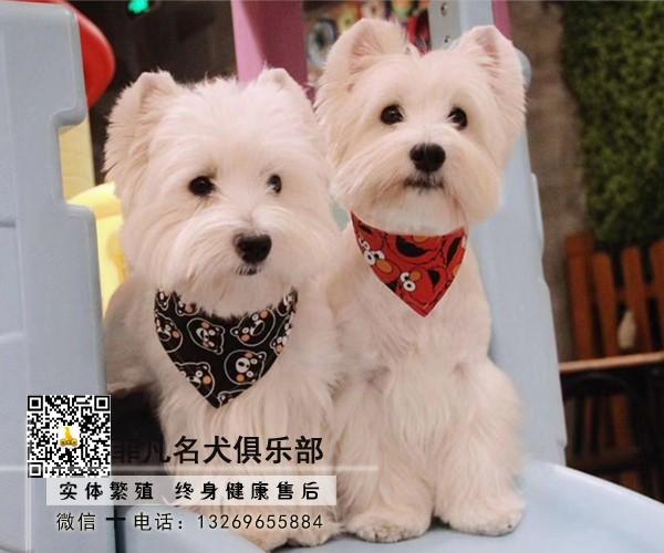 北京西高地犬舍繁殖基地出售赛级西高地白梗售后有保障