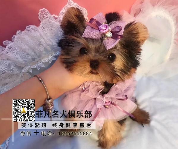犬舍繁殖金头银背金头纲蓝约克夏幼犬 保纯种健康可测