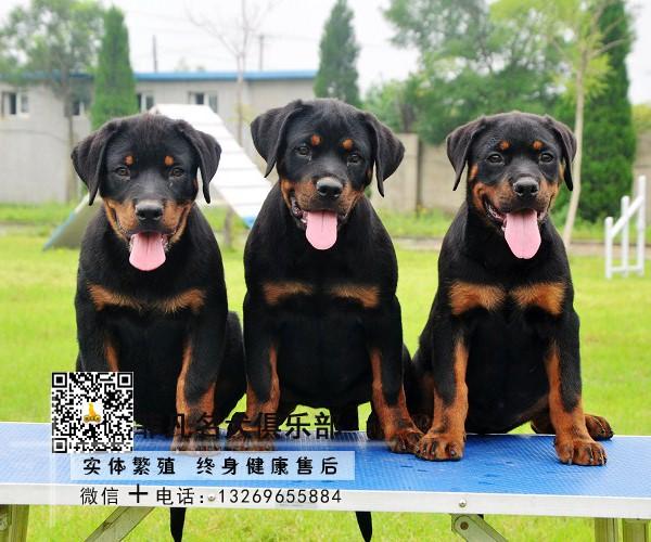 赛级双血统,专业繁殖罗威纳,签购犬协议,质保终生8