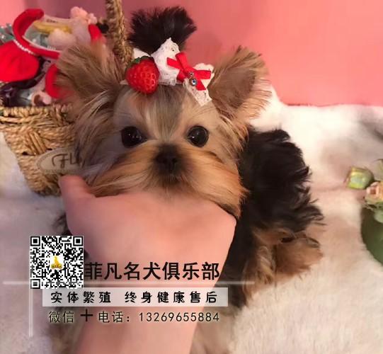 犬舍繁殖金头银背金头纲蓝约克夏幼犬 保纯种健康可测8