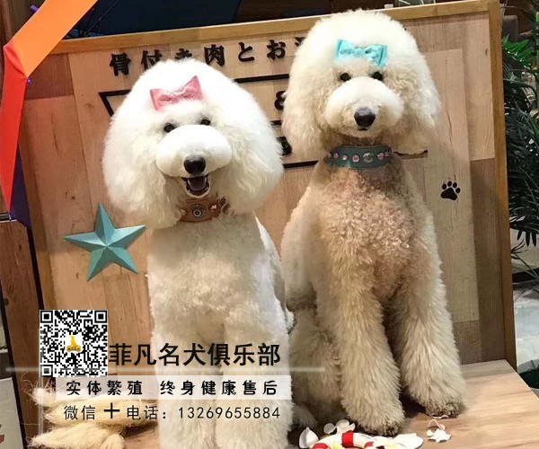 高端纯种赛级巨型贵宾犬巨贵幼犬全国可发货北京可送货