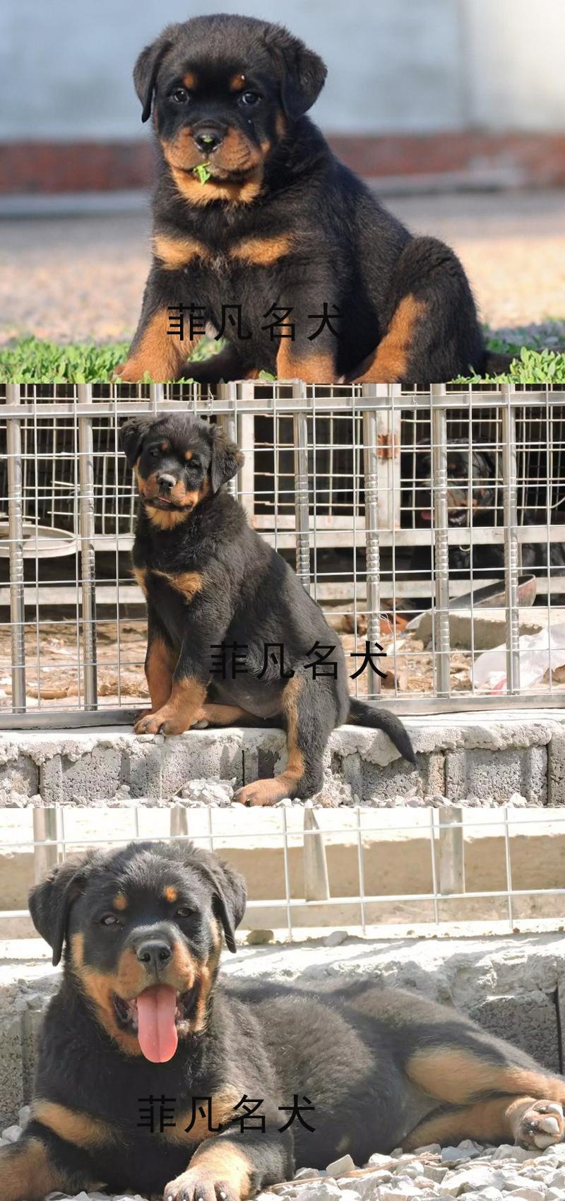 赛级双血统,专业繁殖罗威纳,签购犬协议,质保终生6