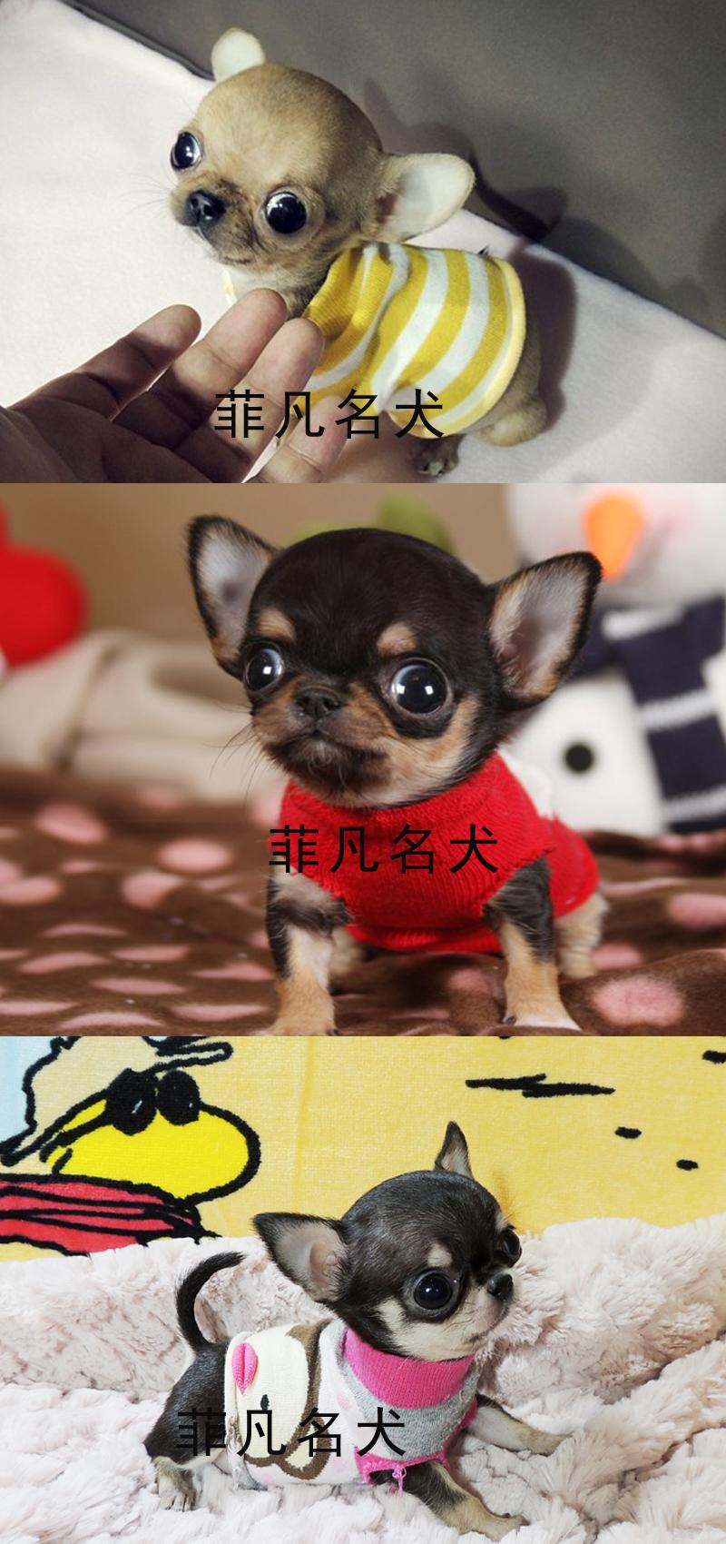 纯种韩系小体吉娃娃幼犬活体比熊犬茶杯泰迪犬博美北京7