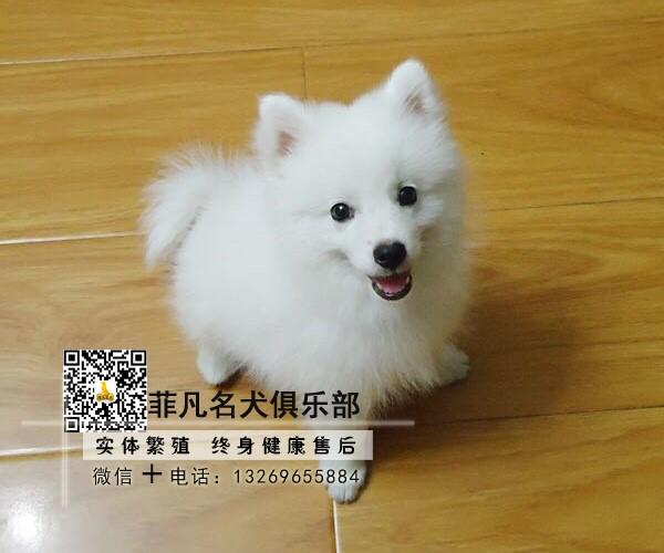 北京犬舍直销银狐幼犬一多窝可选一签协议一可发货2