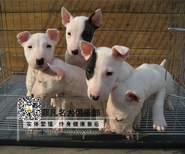 牛头梗保纯种健康、可看狗父母、可送货签订活体协议7