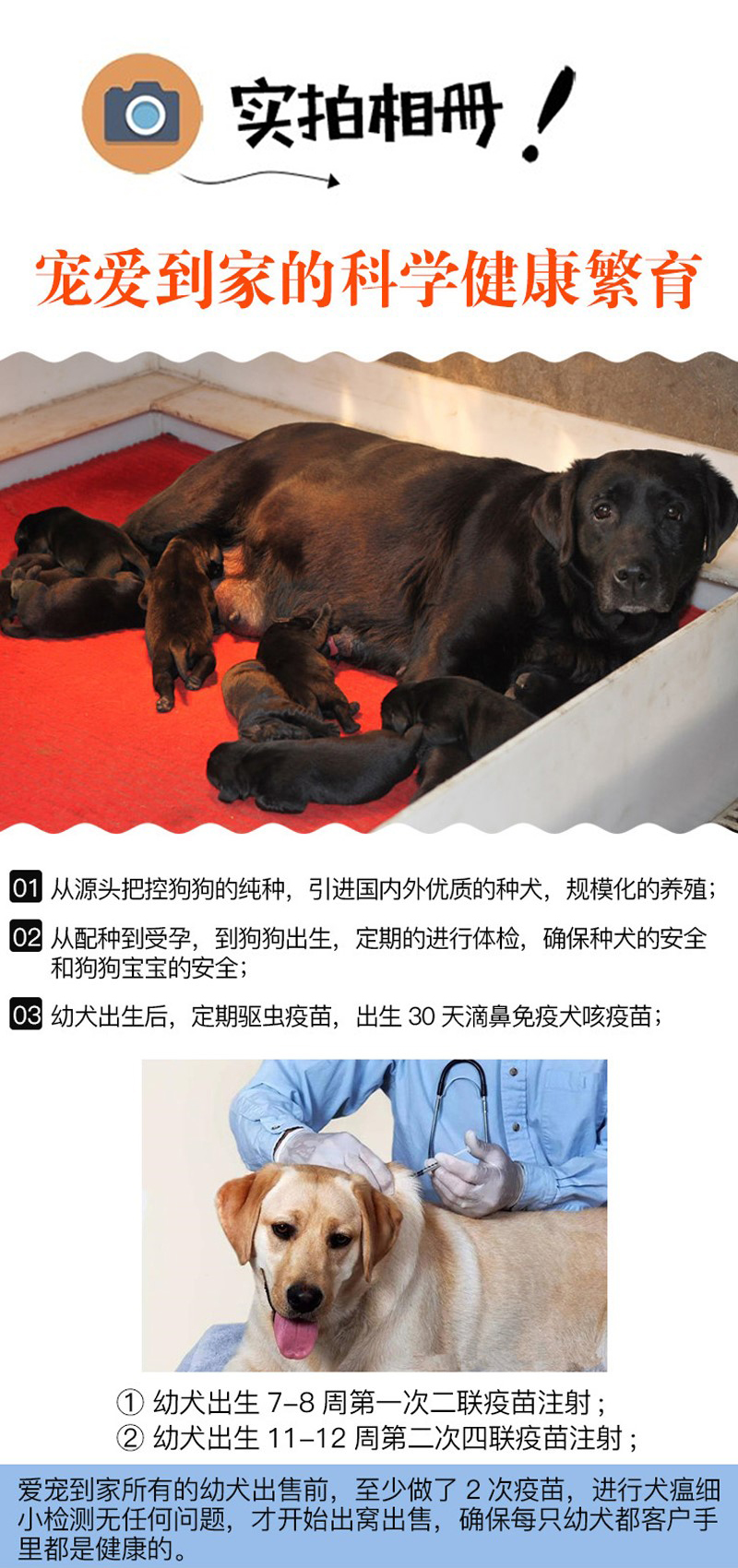 赛级双血统,专业繁殖罗威纳,签购犬协议,质保终生11