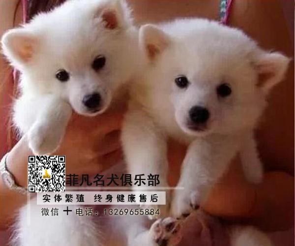 北京犬舍直销银狐幼犬一多窝可选一签协议一可发货3