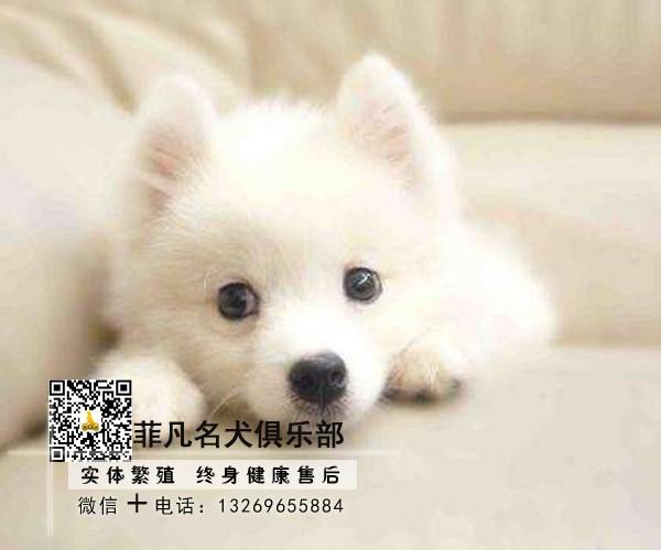 北京犬舍直销银狐幼犬一多窝可选一签协议一可发货4