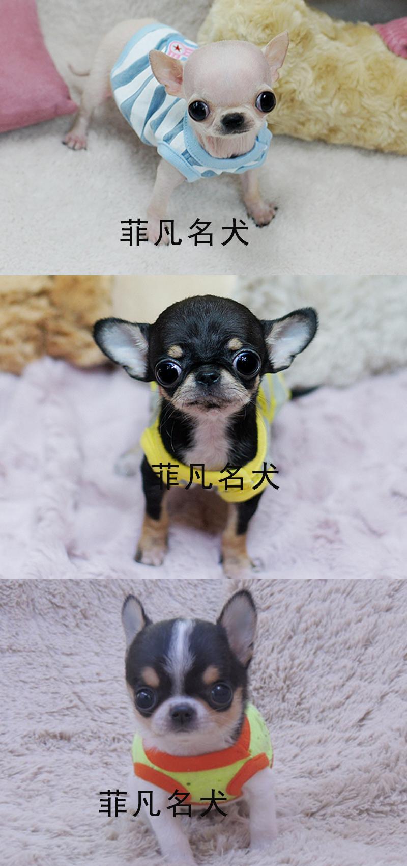 纯种韩系小体吉娃娃幼犬活体比熊犬茶杯泰迪犬博美北京6