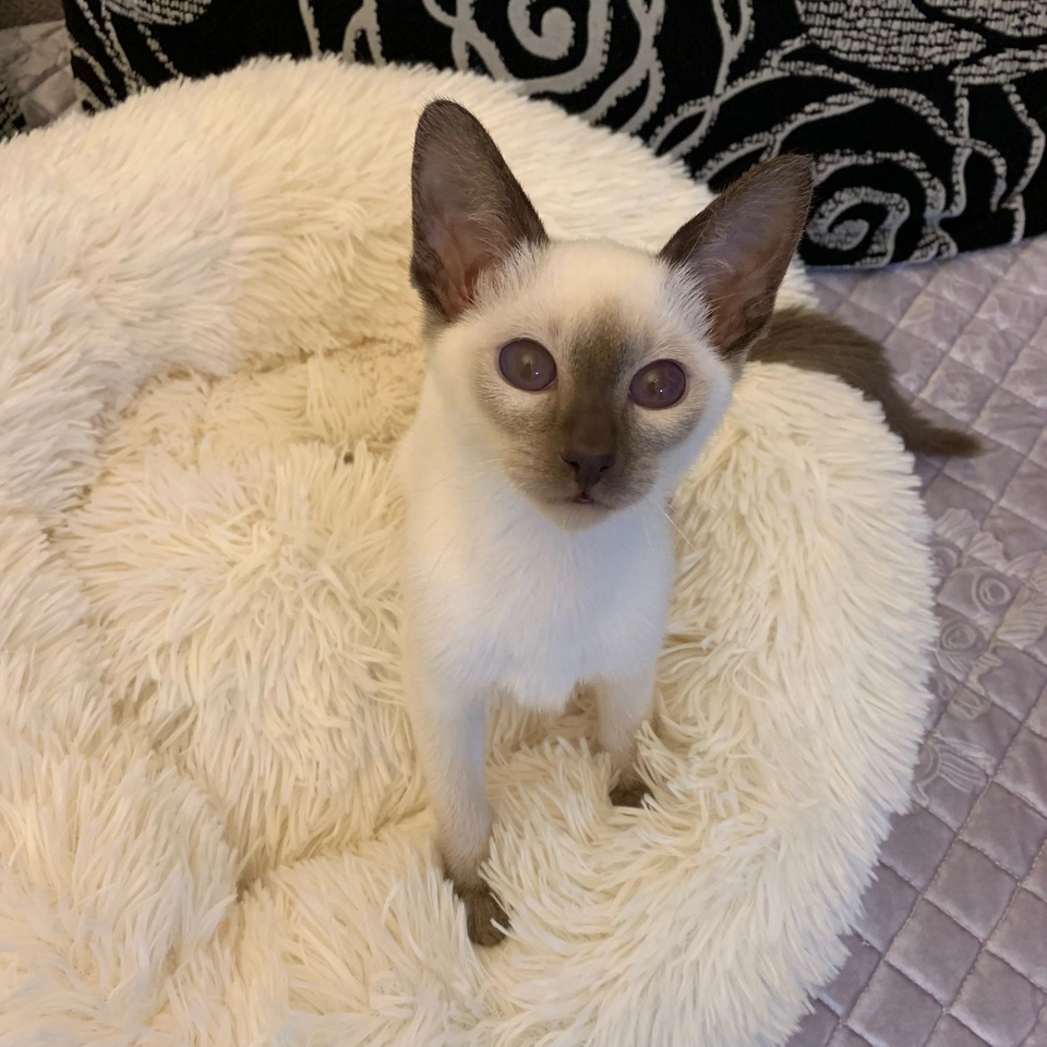 纯种小暹罗猫乖巧粘人 漂亮蓝宝石眼睛泰国暹罗猫