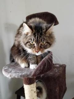 纯种缅因猫,有CFA五代血统证