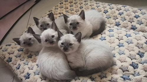 纯种暹罗猫,无病无癣