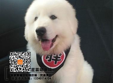 精品大白熊宠物狗 双血统证书齐全 售后免费服务指导