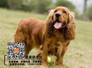 本地犬舍繁殖的可卡幼犬 可实物挑选 签协议 终身售后