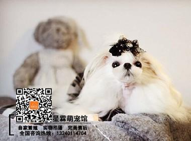 极品马尔济斯 赛级幼犬 自家繁殖 外地可发货
