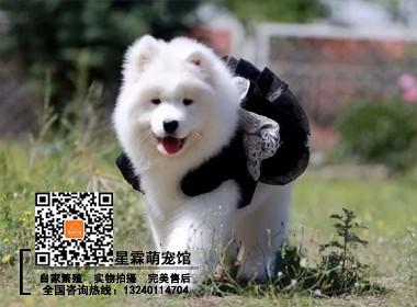 纯种萨摩幼犬保健康签订协议最高质保完美售后