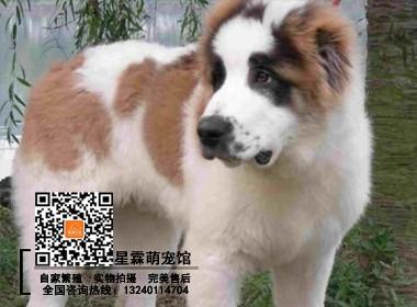 犬舍出售纯种中亚牧羊犬 包养活带证书可签协议