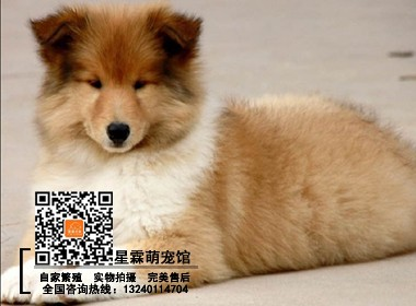 犬舍繁殖的喜乐蒂幼犬 可实物挑选 签协议 终身售后