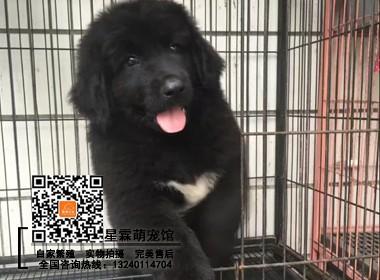 纯种纽芬兰幼犬出售,高品质纽芬兰幼犬,精品高端犬舍