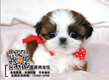 犬舍出售高品质西施犬、保健康保纯种、签售后协议