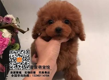 超小体泰迪犬 纯种茶杯犬 泰迪幼犬 泰迪狗 带血统证书