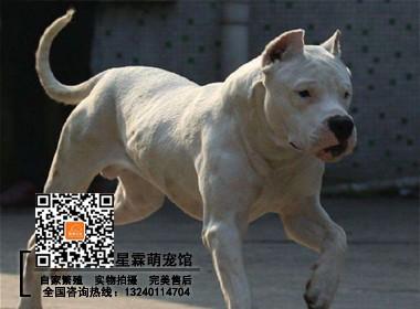 犬舍繁殖出售 纯种健康杜高犬 疫苗齐全签保障协议